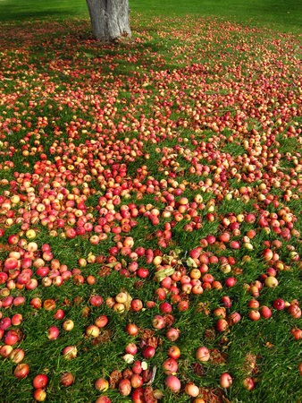 Apples on the ground with green grass and apple tree photo