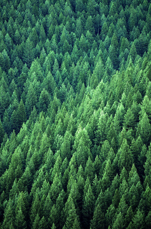 Forest of green pine trees on mountainside with late afternoon sunlight Foto de archivo