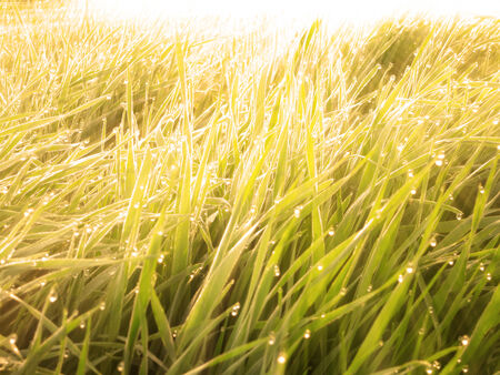 Warm sunrise on dewy wet grass with drops