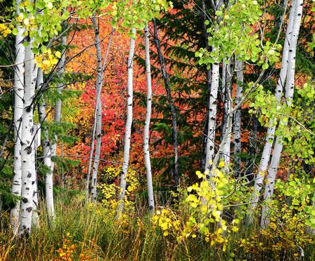 Herbstlaub mit Birken und Ahornbäume mit Kiefernwald Standard-Bild - 30639345