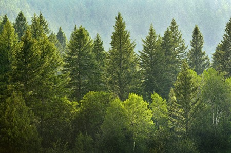 Forrest of green pine trees on mountainside with rain