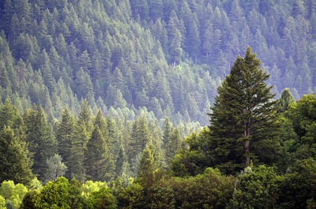 tree canopy: Forrest of green pine trees on mountainside with late afternoon sunlight
