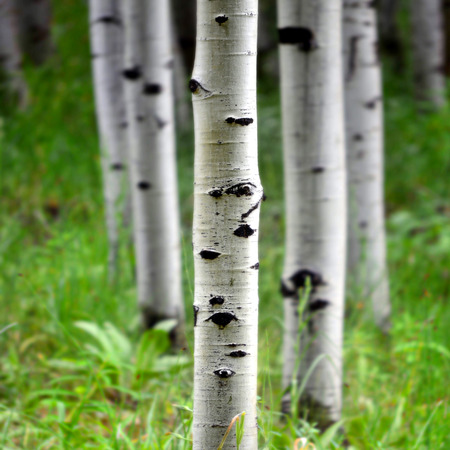 Detail of several aspen birch trees with green summer leaves 写真素材