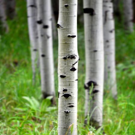 녹색 여름의 여러 아스펜 자작 나무 나무의 세부 단풍 스톡 콘텐츠