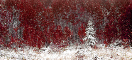 evergreen trees: Snowy pine trees and red autumn leaves in winter