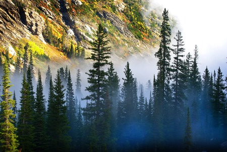 pine tree: Fog and pine tree on rugged mountainside during storm