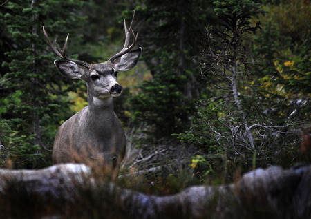 refuge: Detail of four point mule deer in Rocky Mountains Stock Photo