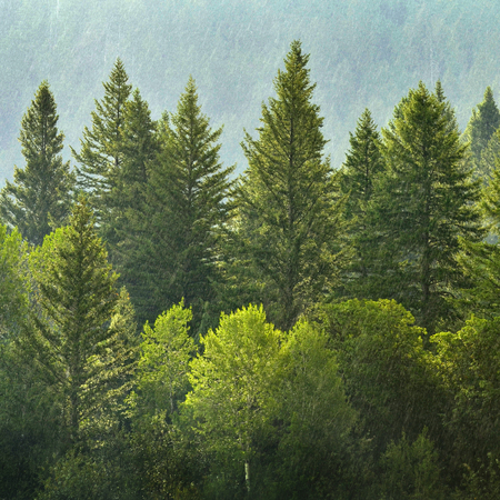 tree canopy: Forrest of green pine trees on mountainside with rain