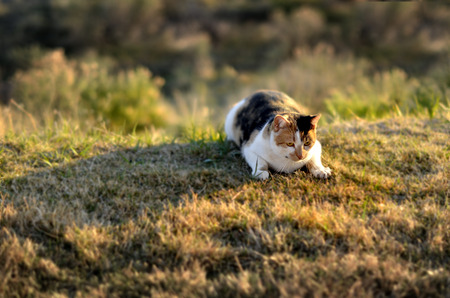 watchfulness: Portrait of pet cat in sunlight on grass stalking hunting and watching Stock Photo
