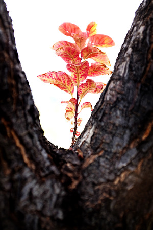 tree detail: Detail of red leaves growing on tree in fall