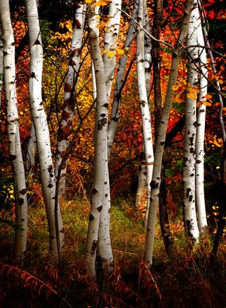 단풍과 흰색 자작 나무 나무 가을 백그라운드에서 나뭇잎 스톡 콘텐츠