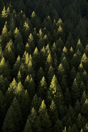 Forest of green pine trees on mountainside with late afternoon sunlight Stok Fotoğraf