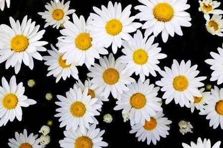 pâquerette: Détail de marguerites fleurs de marguerite avec des rayons de soleil d'or soleil printemps été
