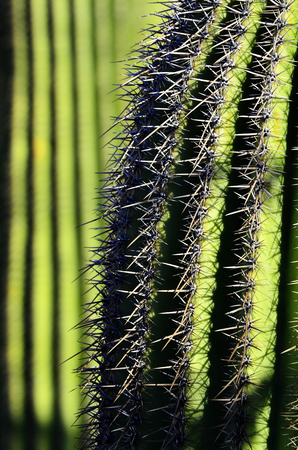 with spines: Cactus Spines Sharp Green