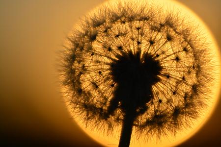 Detalle de las malas hierbas dandylion semillas en la luz del sol