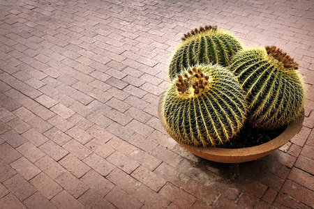 potted plant cactus: Several cactus cacti potted plant on patio of home for decoration