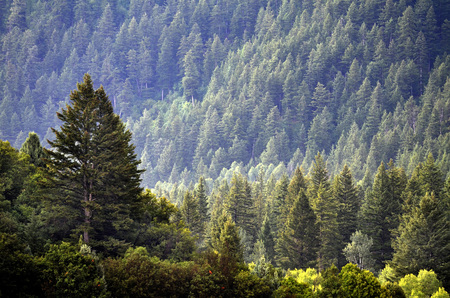 trees forest: Forest of green pine trees on mountainside with late afternoon sunlight Stock Photo