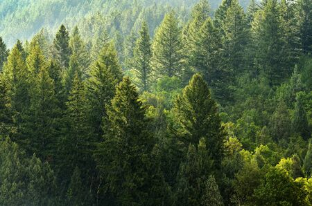 pine forest: Forest of green pine trees on mountainside with late afternoon sunlight Stock Photo