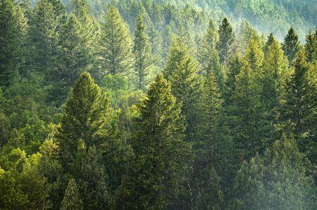 Bosque de los árboles de pino verde en la ladera con la tarde la luz del sol