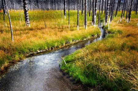 grassy field: Field in Yellowstone with creek stream dead pine trees green grass