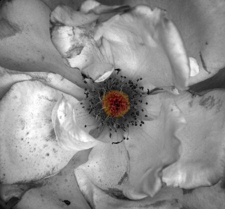 artistic flower: Artistic white flower shabby gunge texture with orange center