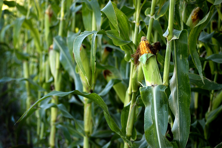 produces: Corn Stalk in field of crops growing green and ready for harvest