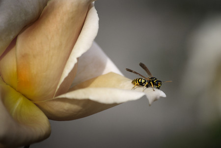 daunting: Yellow Bee on Flower in Spring new life and work Stock Photo