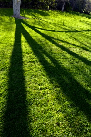 connectedness: Trees in spring with sunlight long shadows green grass park yard