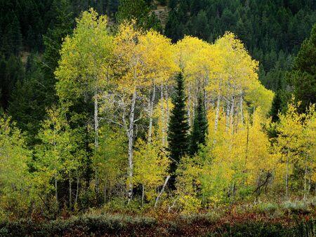 白秋の背景に紅葉と樺の木