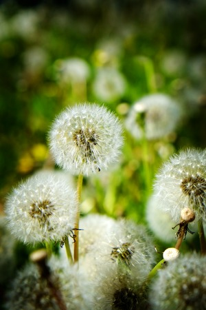 Dandylion weeds in a yard or field growing green and lush