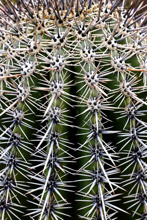 spines: Saguaro Cactus in Arizona detail of spines and ridges of growth