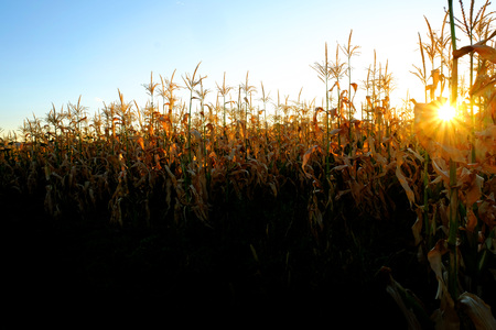 champ de mais: Corn Stalk in field of crops growing green and ready for harvest