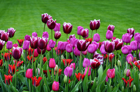 tulip: Spring tulips in garden with fresh new green growth Stock Photo