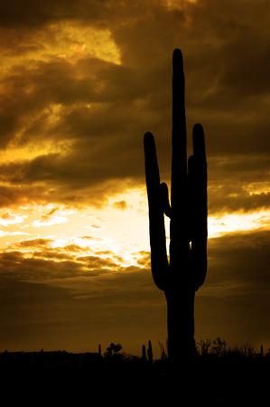 saguaro cactus: Several saguaro cactus cacti in the Arizona Desert