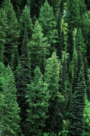 pine forest: Forest of pine trees in wilderness mountains landscape details