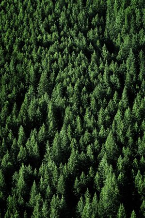 forest: Pine trees in lush green forest forrest wilderness for conservation