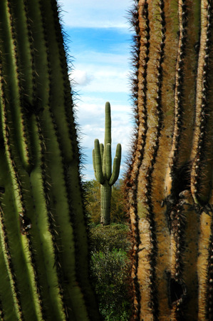felled: Detail cactus cacti in Arizona desert