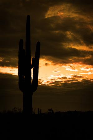 felled: Several saguaro cactus cacti in the Arizona Desert