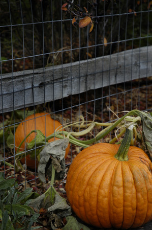 Pumpkin growing in garden by fence for fall harvest Stock Photo