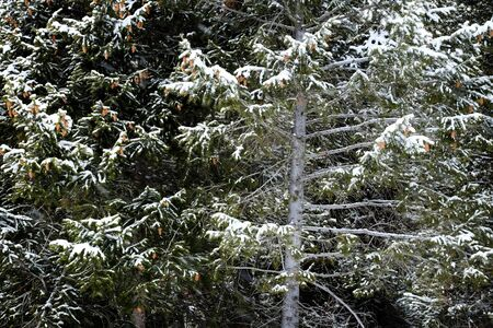 snow  snowy: Forest of pine trees in winter time snowy storm snow flakes falling Stock Photo