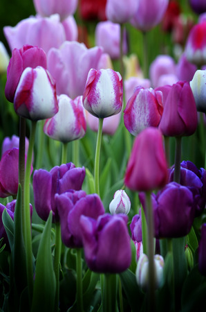 Spring tulips in garden with fresh new green growth Stock Photo