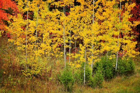 Fall Birch Trees with Golden Leaves Stock Photo