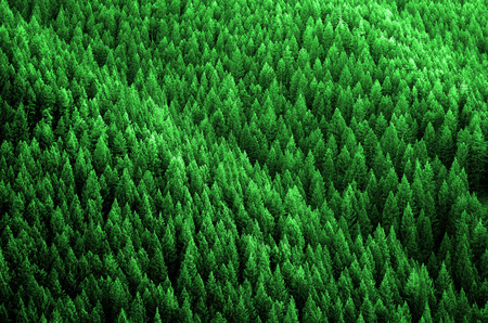 evergreen: Forest of pine trees in wilderness mountains rugged