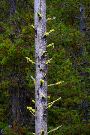 Pine forest trees in mountains and wilderness Stock Photo