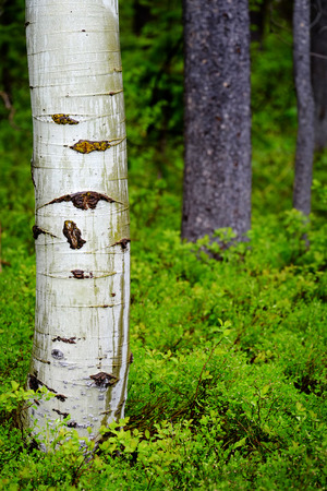 aspen leaf: Aspen birch tree in forest with green growth