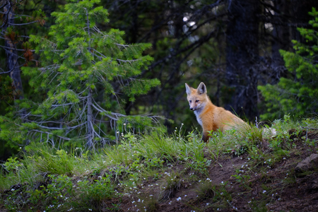 Wild fox near den in wilderness animals tail and ears