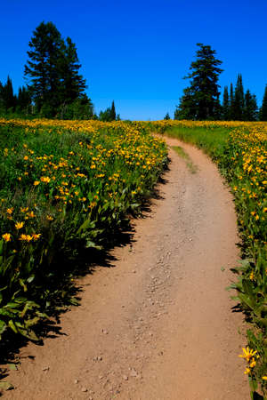 Field of yellow wildflowers flowers and trail Stock Photo
