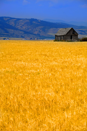 Cabin old homestead on farmground with field of grain Stock Photo