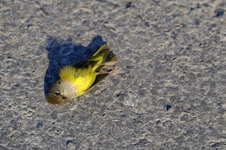 Dead canary song bird on road killed death
