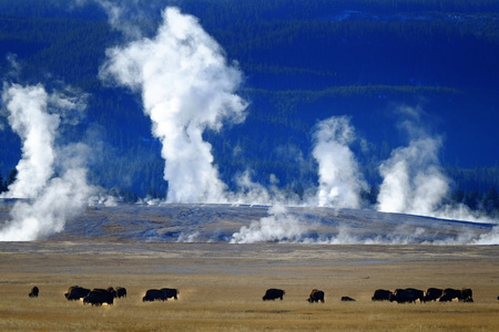 Bison buffalo in Yellowstone with steam and geysers mountains in background